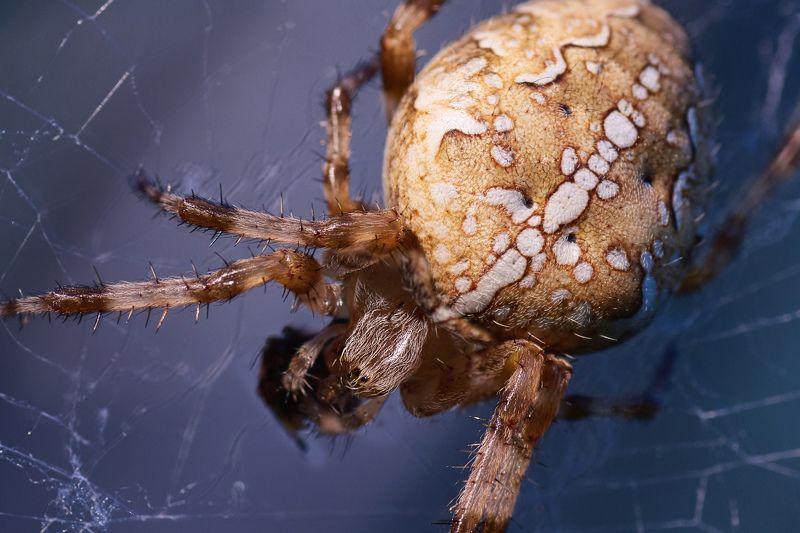 Araneus, паук, крестовик, макро Araneusphoto preview