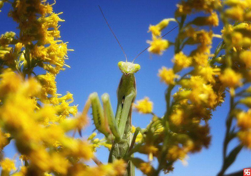 насекомые, богомол, самка богомола, цветы, синее, желтое, неожиданность Самка богомола..photo preview
