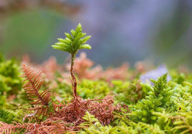 Природа, растения, макросъемка растений, мох \