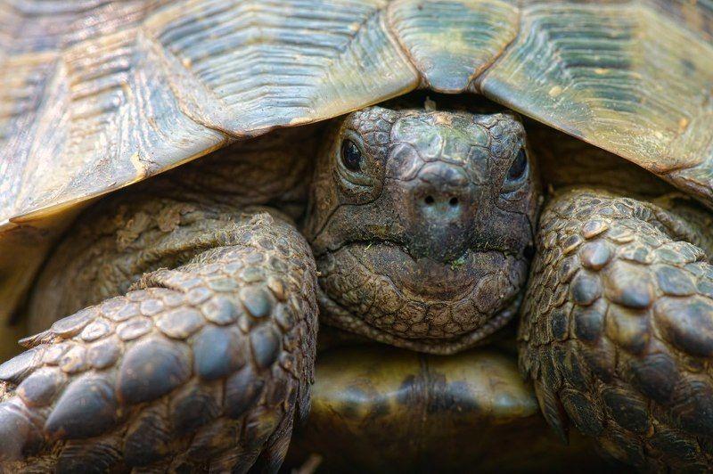 черепаха, природа, россия, дагестан, рептилии, wildlife, nature, reptile, testudo, turtle, testudo graeca, russia Хранители времениphoto preview