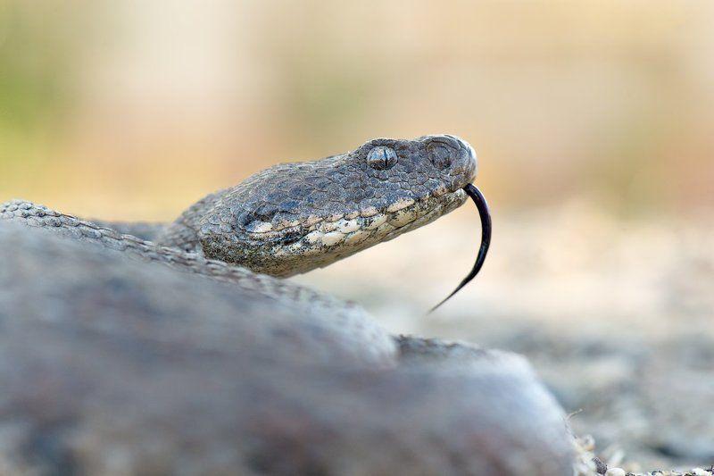 гюрза, змея, россия, природа, рептилия, яд, дагестан, дикая природа, wildlife, nature, snake, venom, russia, macrovipera Смертельная красотаphoto preview