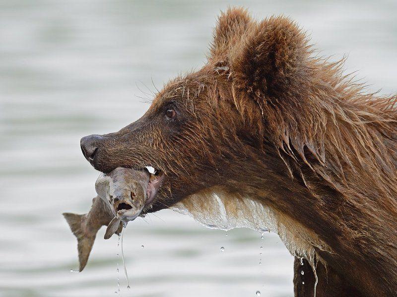 Бурые медведи, Курильское озеро Лазутчикphoto preview