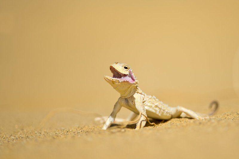 ящерицы, круглоголовки, пустыня, дагестан, россия, дикая природа, lizard, russia, wildlife, desert, nature, macro  Пустынные собачкиphoto preview