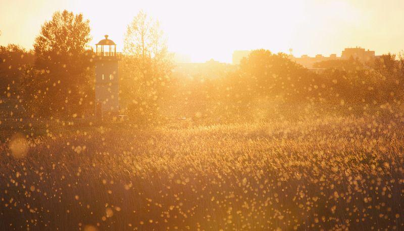 золото, свет, закат, солнце, цвет, атмосфера, природа, Россия, Омск, поле, shine, atmosphere,sun, sunny, color Золотые краскиphoto preview
