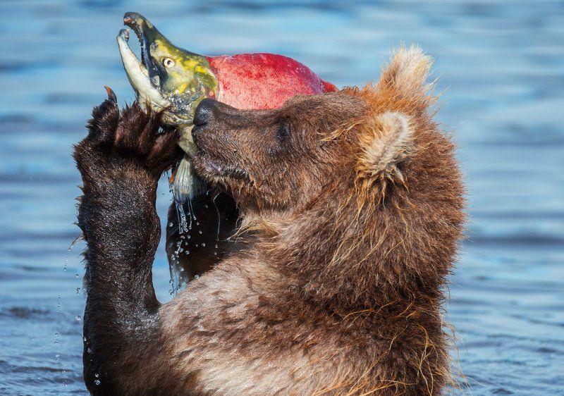 Дикая природа, Камчатка, Медведь, Медвежонок, Россия, Южно-камчатский заказник Операторphoto preview