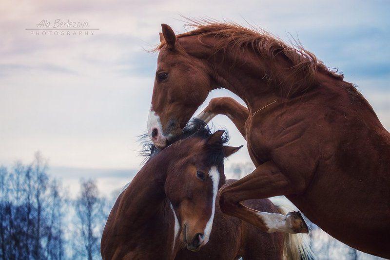лошади, жеребцы, кони, лошадь, зима, игры, холод, мороз, лес, сила, движение, солнце, рыжий Мужская дружбаphoto preview