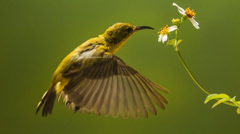 Olive-backed sunbird, bird, hovering, flower feeding timephoto preview