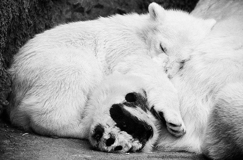 белые медведи, медвежёнок, спящий Мишутка спит...photo preview