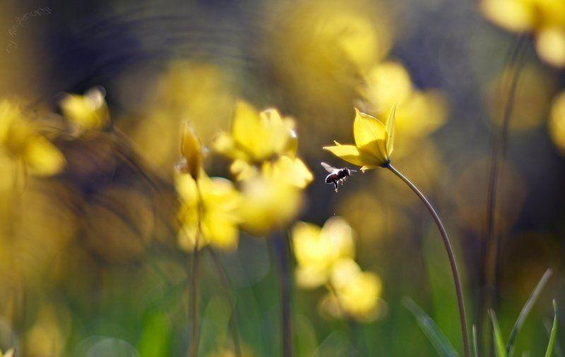 пчела, лесной тюльпан, весна Весенний урожай.photo preview