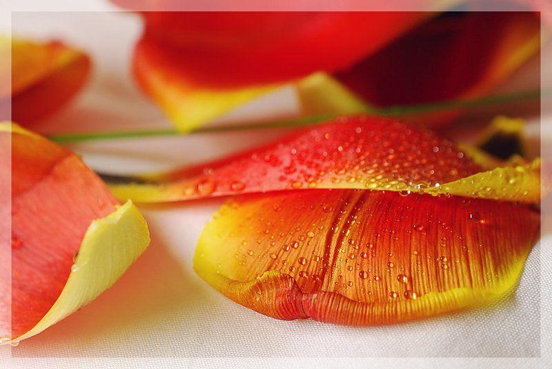 тюльпаны, капли Свежестьphoto preview