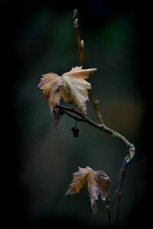 осень, смородиновый, куст, листья Осень, она не спросила.. Осень, она пришла...photo preview
