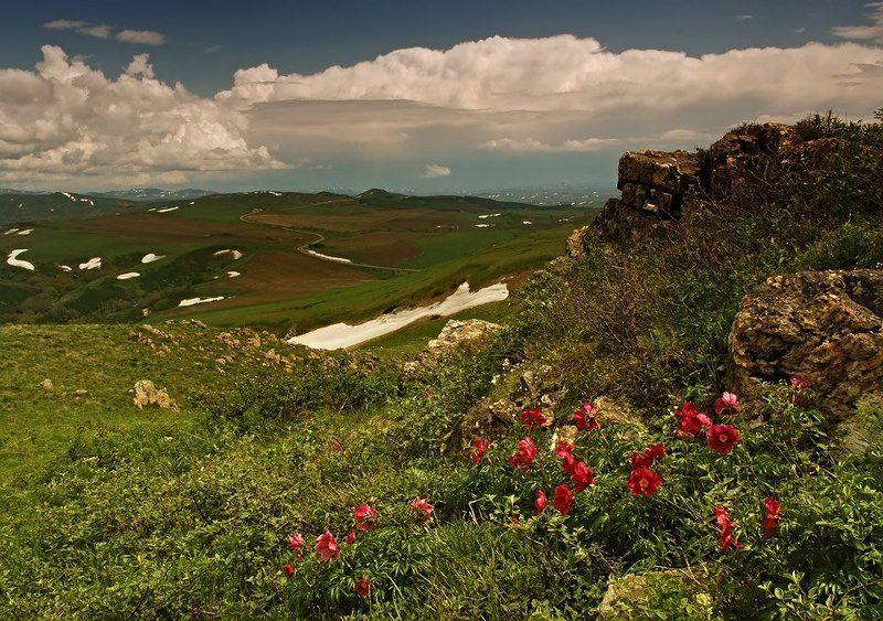 алтай, восточный казахстан Дикие пионыphoto preview