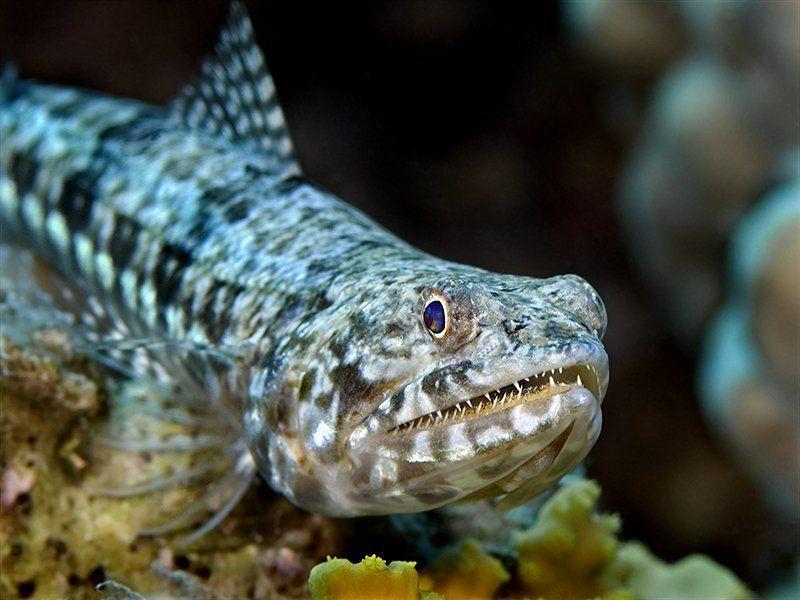красное море, дайвинг, рыбы. Маленький зубастикphoto preview