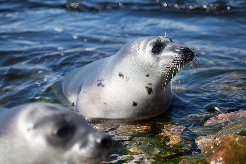 природа,дикие животные Гренландский тюленьphoto preview