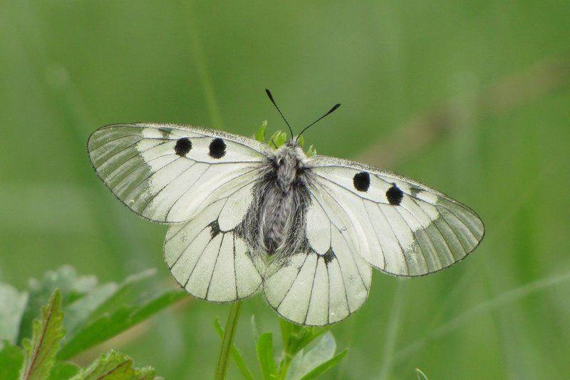 мнемозина, бабочка, весна Черный апполонphoto preview