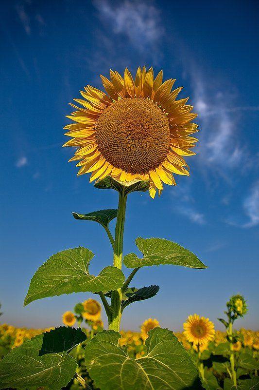 подсолнух, небо И солнце в небе...photo preview