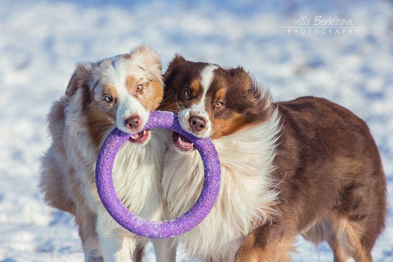 собаки, собака, пастушья, игры, воздух, свежий, кольцо, зима, солнце Кольцо Всевластьяphoto preview