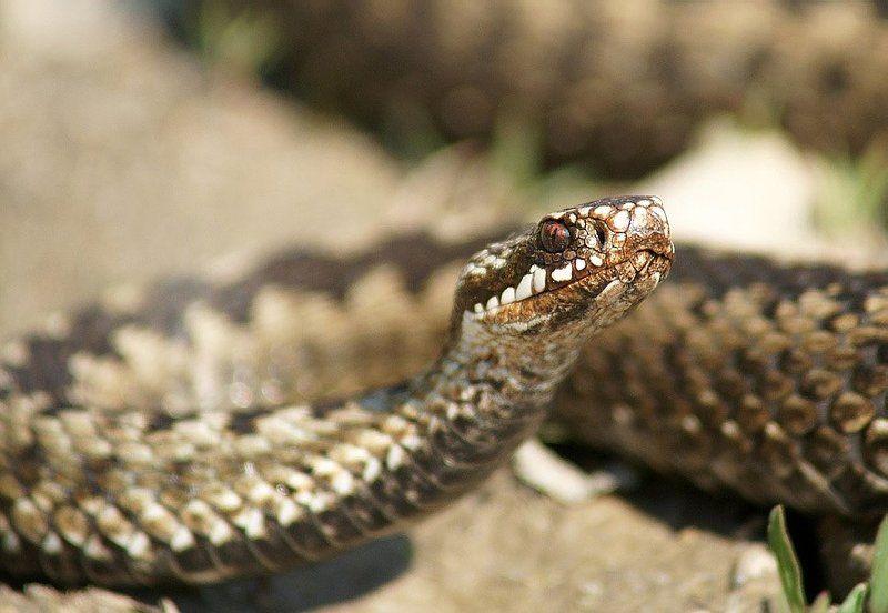 Гадюка, Змея Vipera berusphoto preview