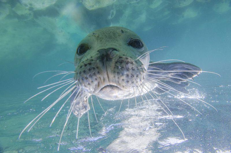 тюлень, природа, животные, океан, море, дикая природа, под водой, подводный мир Любопытствоphoto preview