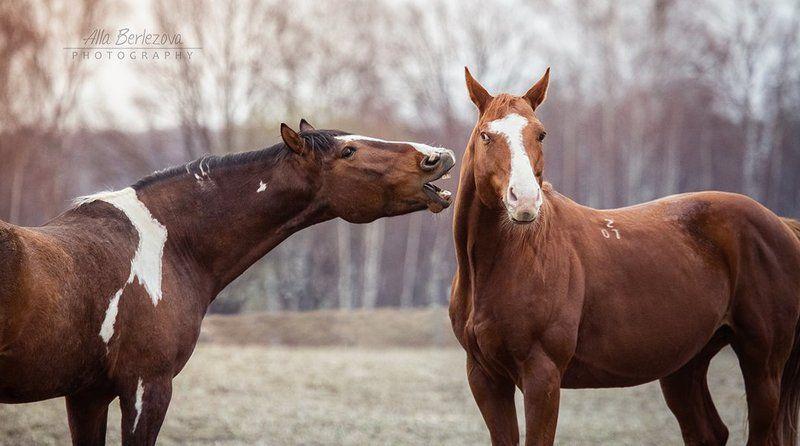 лошади, кони, лошадь, жеребец, рыжий, осень, игра, утро конный разговорphoto preview