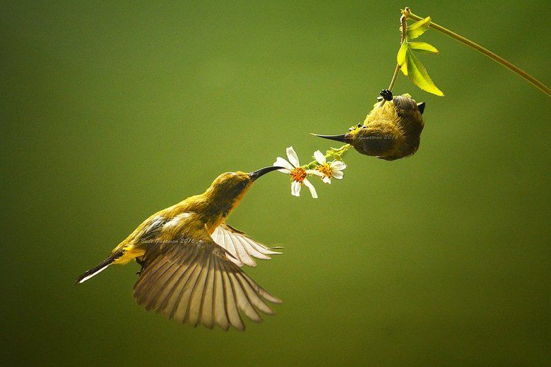sunbird, animal, aves, hovering, action only you and mephoto preview