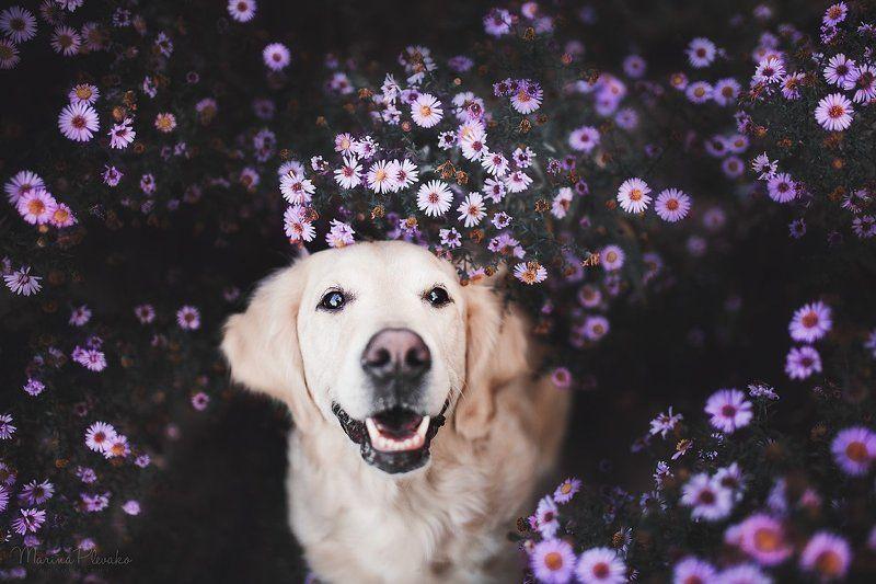 собака, цветы, золотистый ретривер, ретривер, голден Осенние цветыphoto preview
