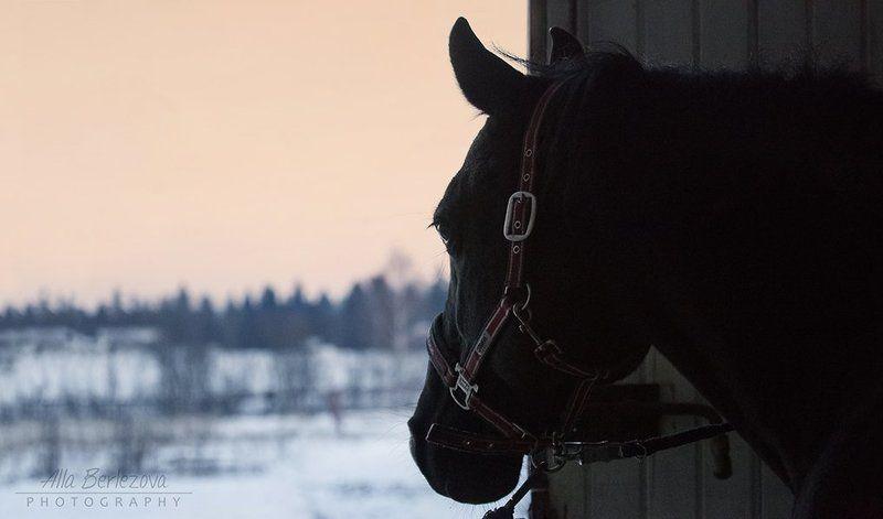 лошадь, вороной, черный, утро, зима, рассвет, холод начало нового дняphoto preview