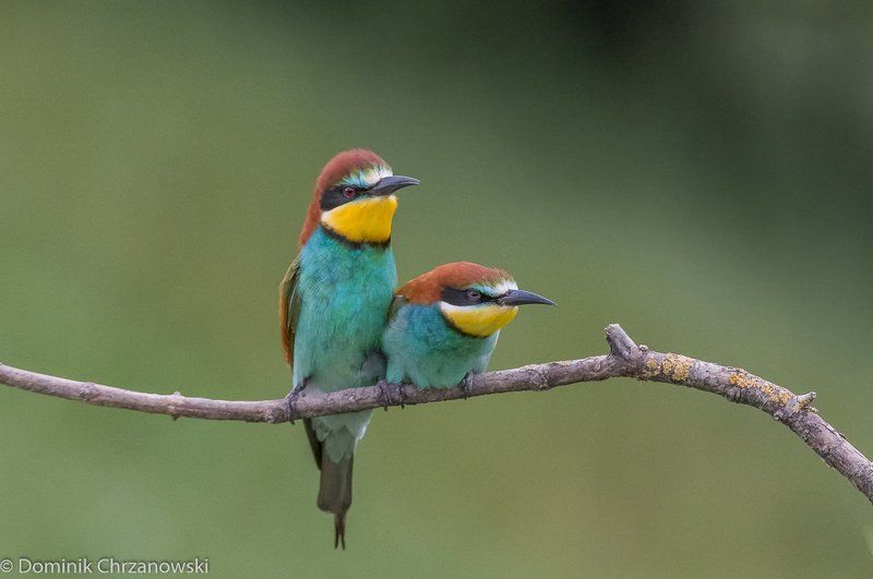 european bee-eater, aves, birds, merops apiaster, dominik chrzanowski wildlife photography European bee-eaterphoto preview
