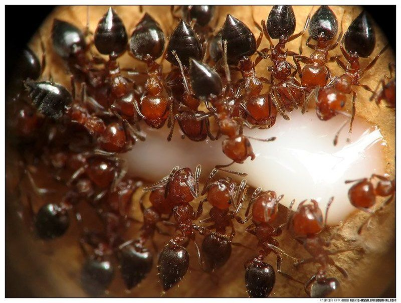 муравей, сгущенка Молочные рекиphoto preview
