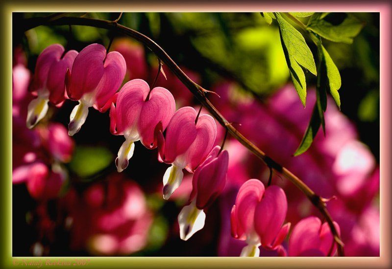 цветы,ассоциации,сердечки Коллекция Марго или Мужские сердцаphoto preview