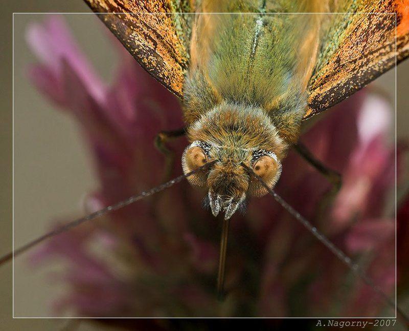 бабочка, репейница, чертополоховка, cynthia vanessa cardui, painted lady Портрет румяной дамы =)photo preview