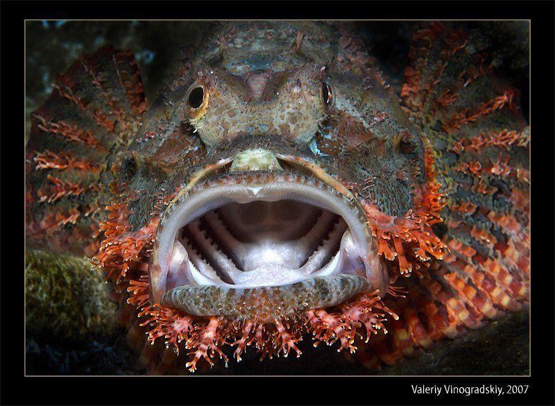 подводное фото скорпена риф красное море виноградский валерий Страшный рыбphoto preview