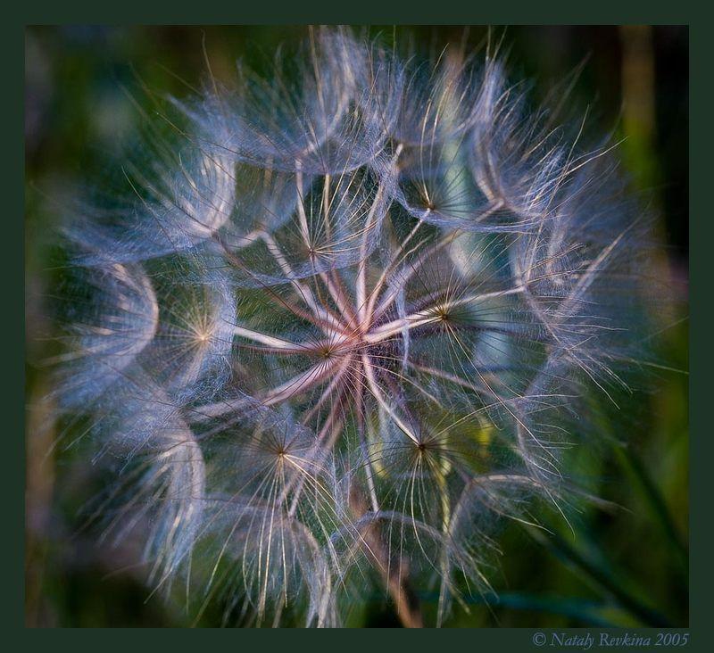 козлобородник,цветы,макро Лунное мерцаниеphoto preview