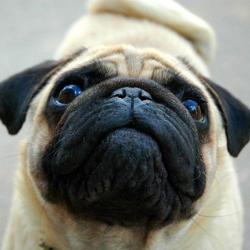 собака,серьёзная морда, добряк Серьёзный \