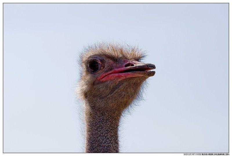 серпухов, страус А чо вы тут делаете, а?photo preview