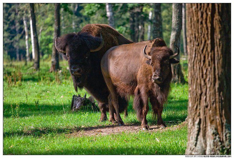 серпухов, бизон, приокско-террасный, заповедник И снова супербизоны...photo preview