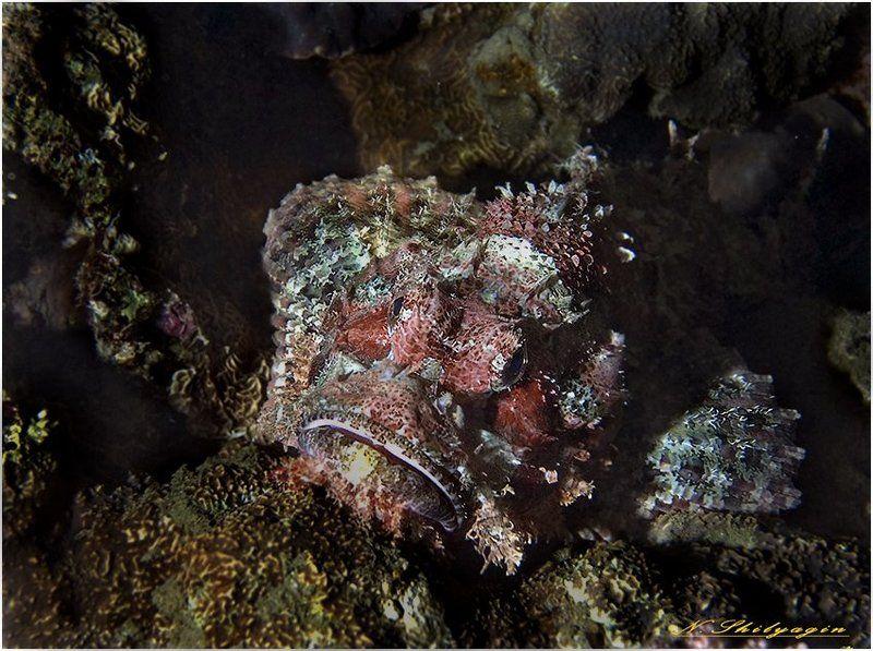 подводный мир, ночью в море,красное море. Ночная старушка - Скорпенаphoto preview