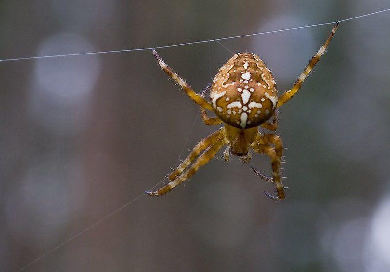 макро,насекомые,природа Крестовикphoto preview