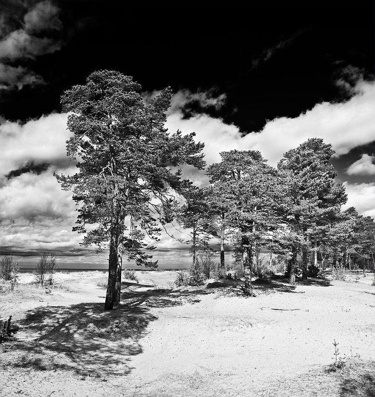 белое море, дюны, ягры, сосны, песок, облака, тучи Дюны Белого моряphoto preview