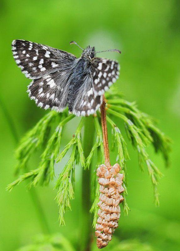 hesperidae, толстоголовки Толстоголовка на хвощеphoto preview