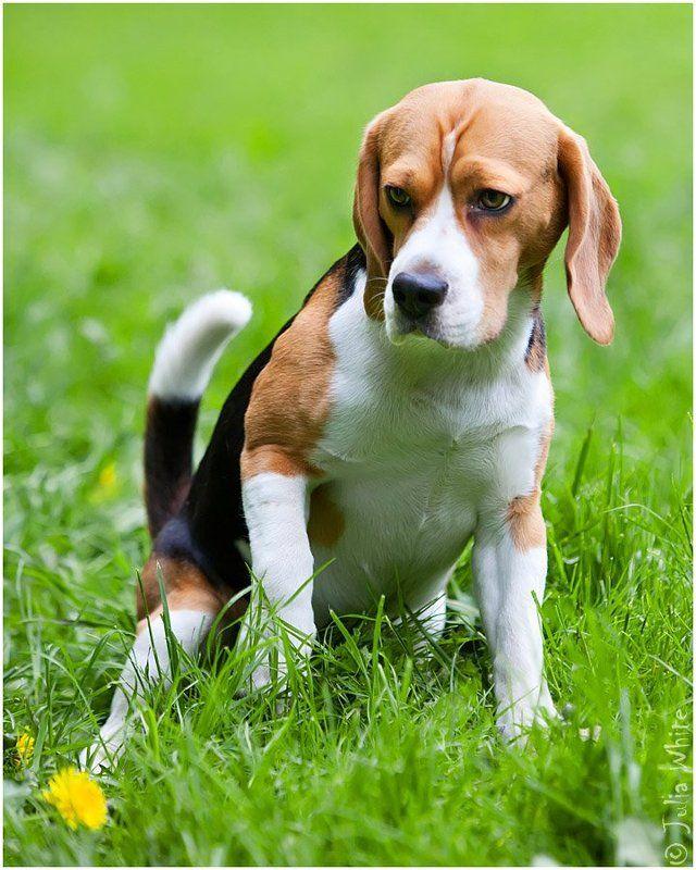 бигль, собака, dog \