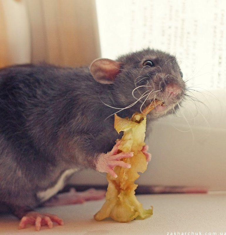 животные, крыса, яблоко, еда Обедphoto preview