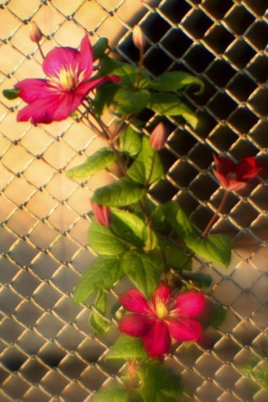 цветы, клематис Он, цепляясь тянулся вверх, на простор... Он украсил собою хозяйкин забор..photo preview