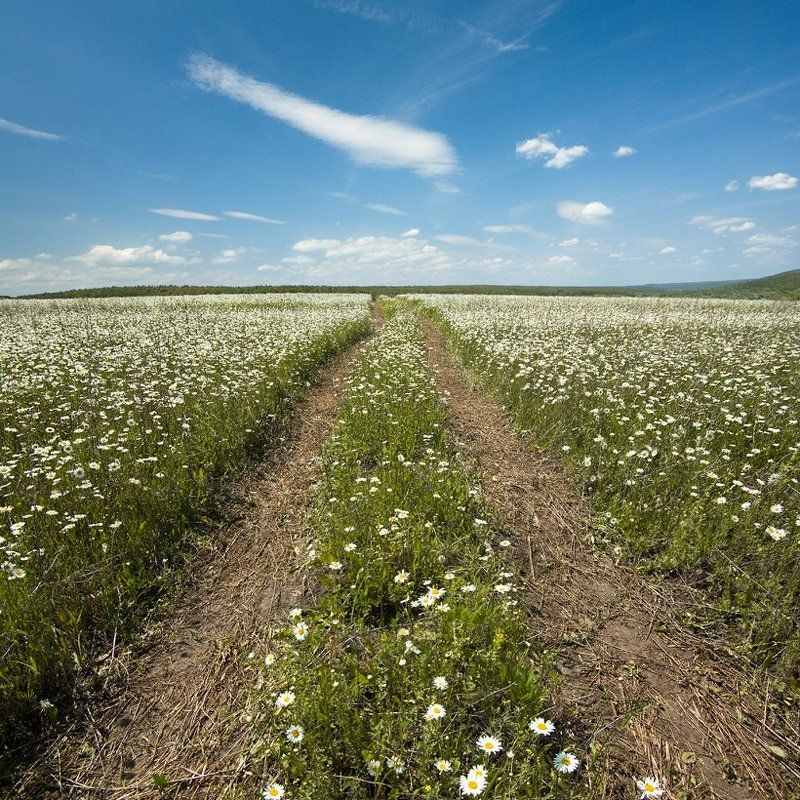 ромашки, поле, лето, дорога Ромашковый путь.photo preview