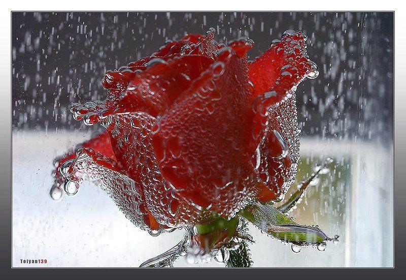 роза, дождь Под серебряным дождем...photo preview