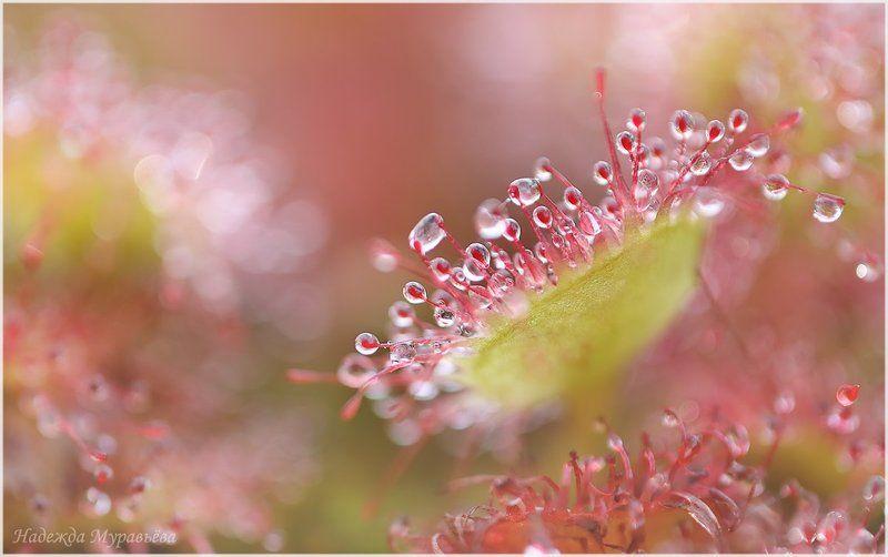росянка, круглолистная,  drosera, rotundifolia Небезопасные капелькиphoto preview