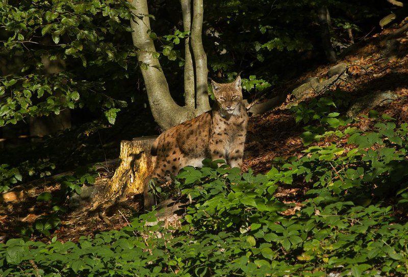 Баварская рысь.photo preview