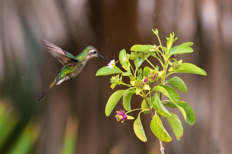 птицы, колибри, куба, дикая природа, wildlife, nature, cuna, birds ***photo preview