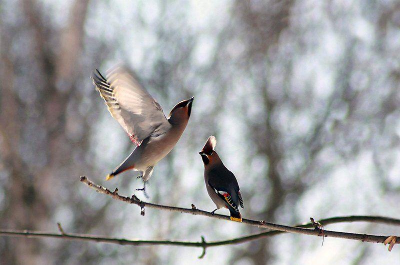 птицы Свиристель )photo preview