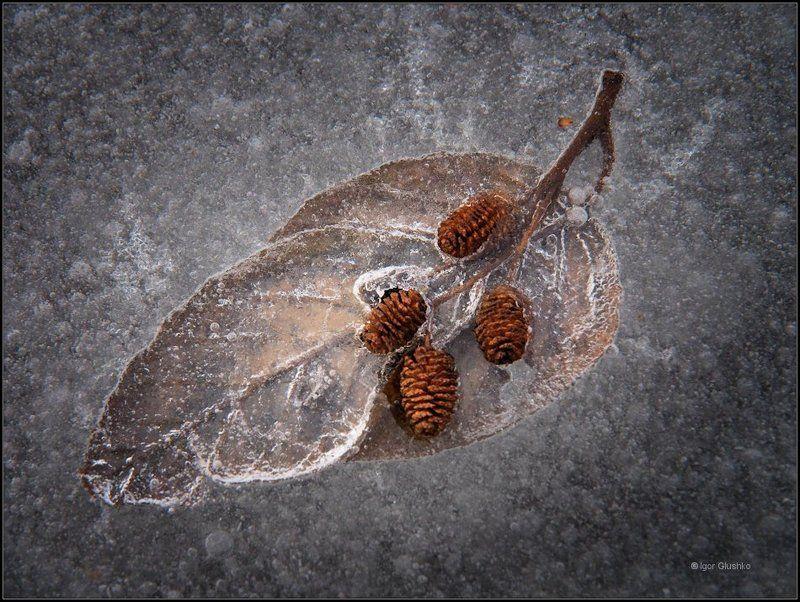 сережка ольхи, лед, листик, Ольховый леденецphoto preview